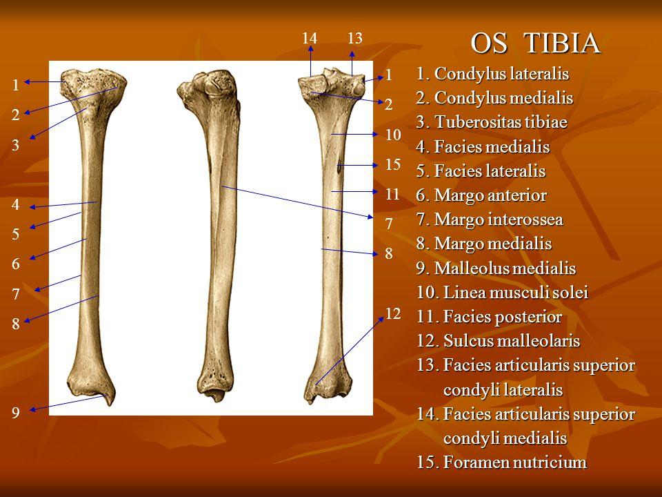 OS TIBIA 1. Condylus lateralis 2. Condylus medialis
