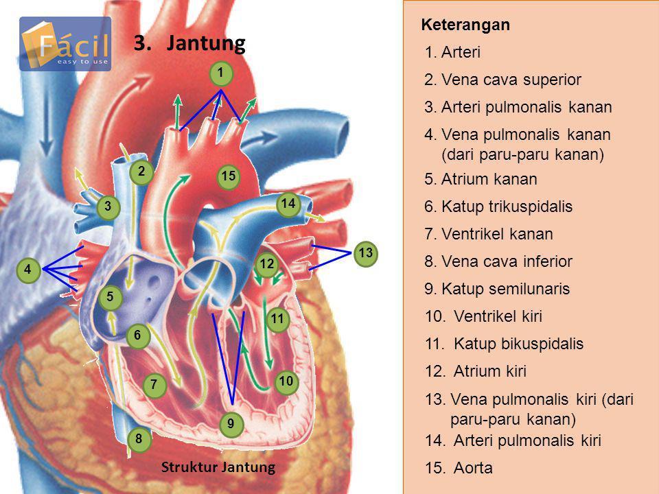 3. Jantung Keterangan 1. Arteri 2. Vena cava superior
