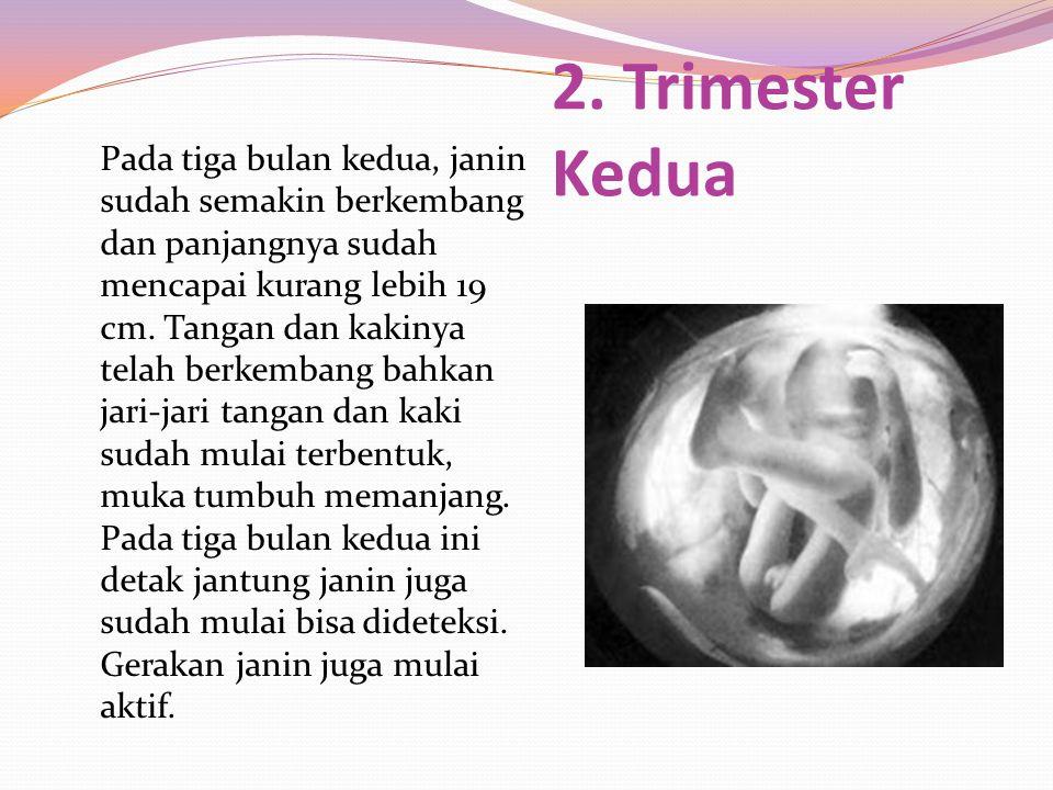 2. Trimester Kedua