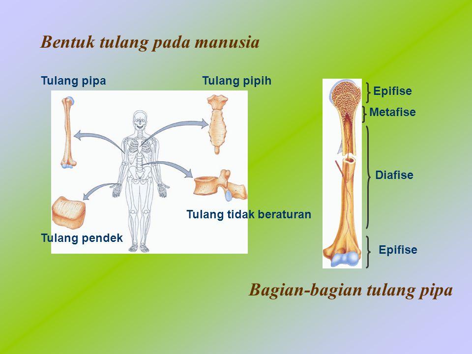 Bentuk tulang pada manusia