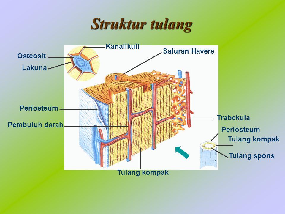 Struktur tulang Kanalikuli Saluran Havers Osteosit Lakuna Periosteum