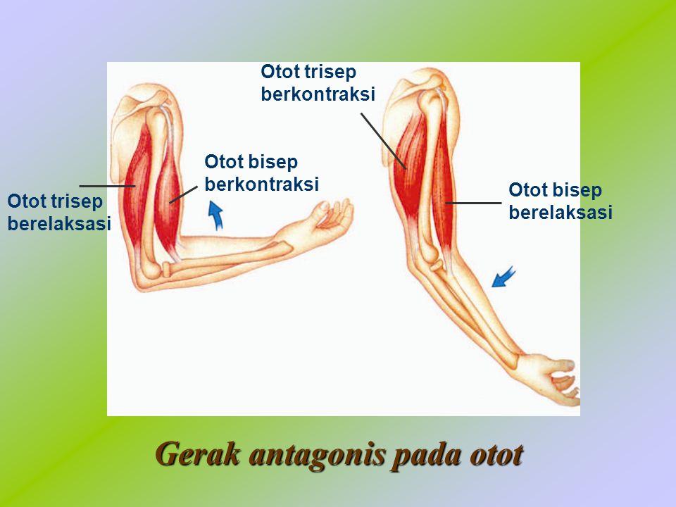 Gerak antagonis pada otot