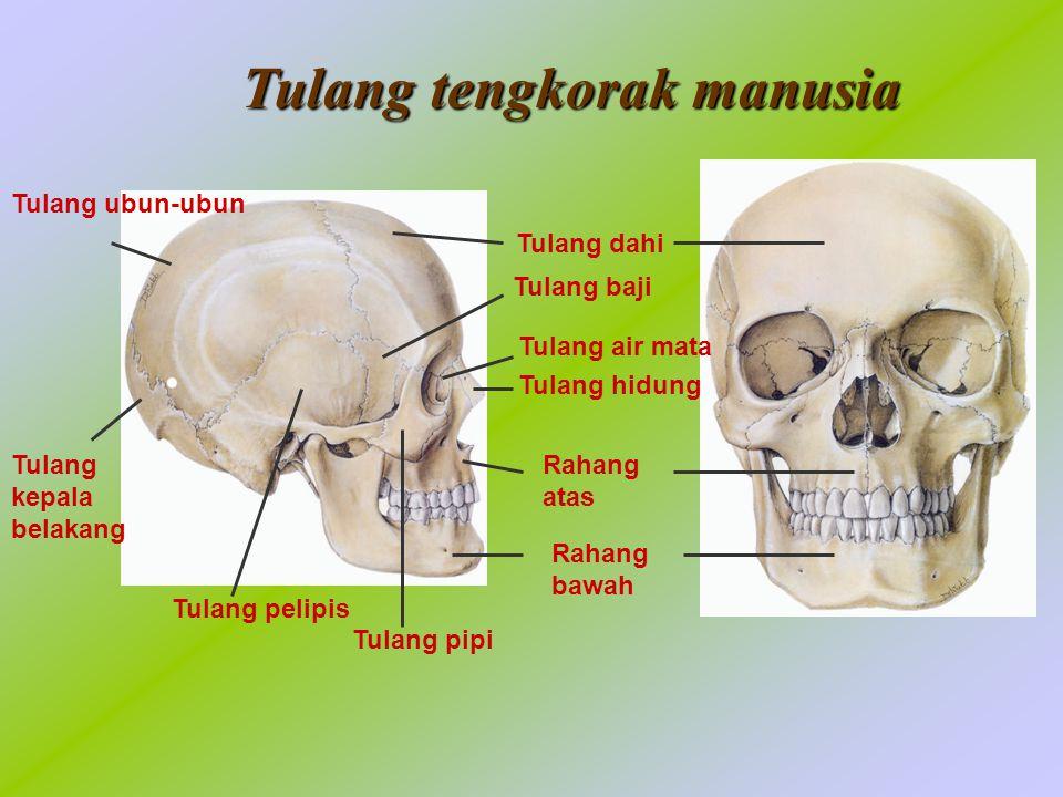 Tulang tengkorak manusia
