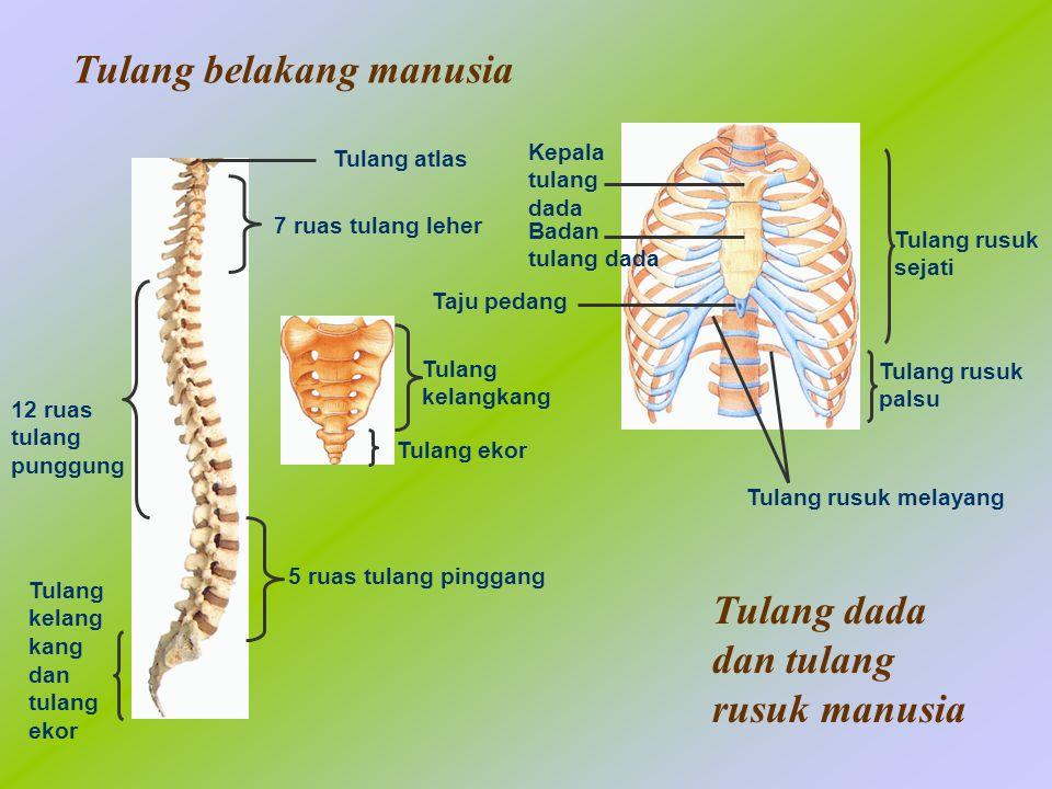 Tulang belakang manusia