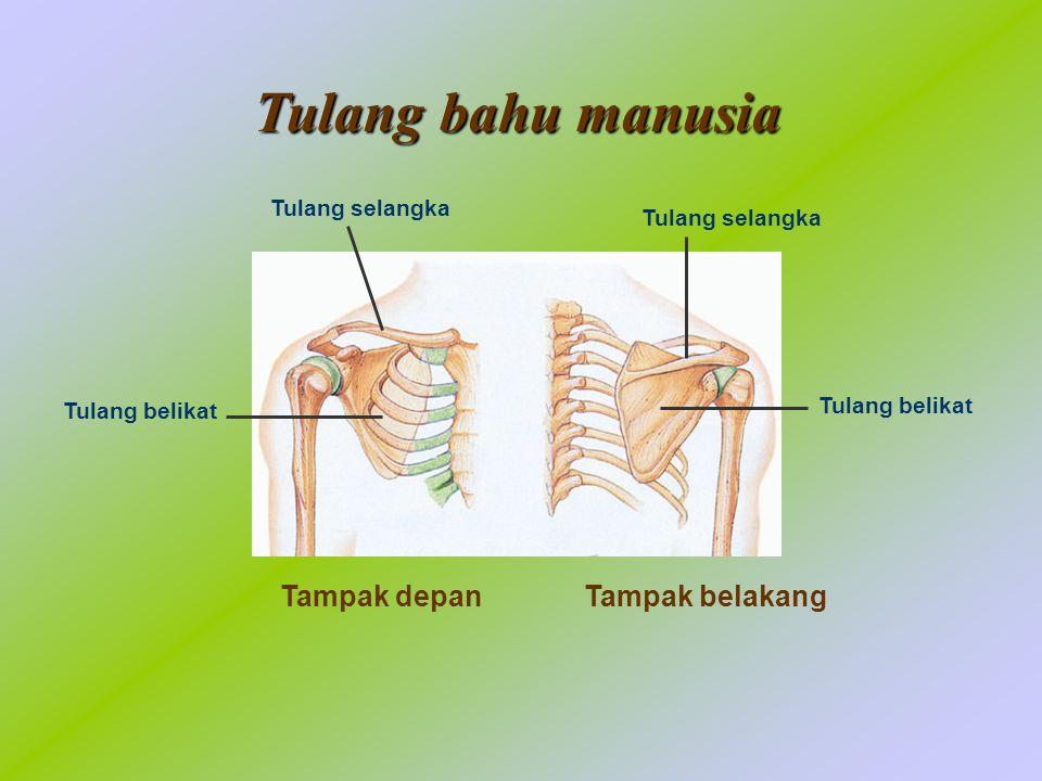 Tulang bahu manusia Tampak depan Tampak belakang Tulang selangka