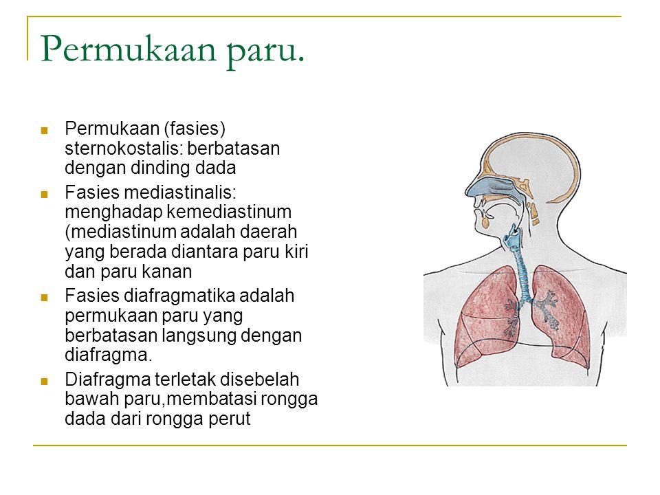 Permukaan paru. Permukaan (fasies) sternokostalis: berbatasan dengan dinding dada.