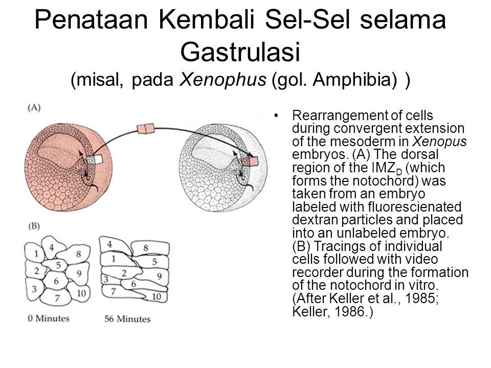 Penataan Kembali Sel-Sel selama Gastrulasi (misal, pada Xenophus (gol
