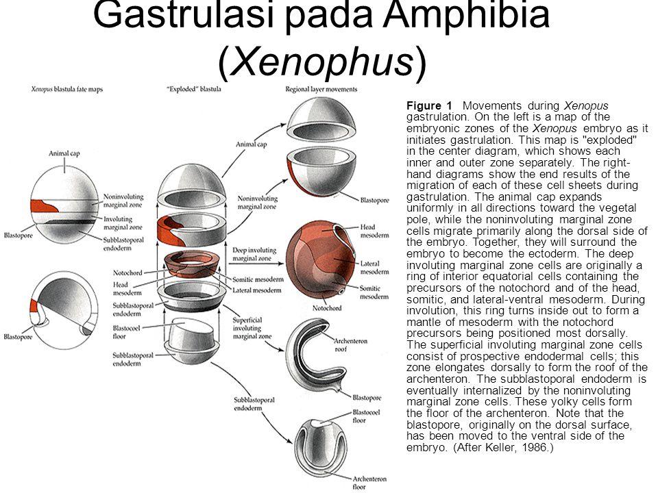 Gastrulasi pada Amphibia (Xenophus)