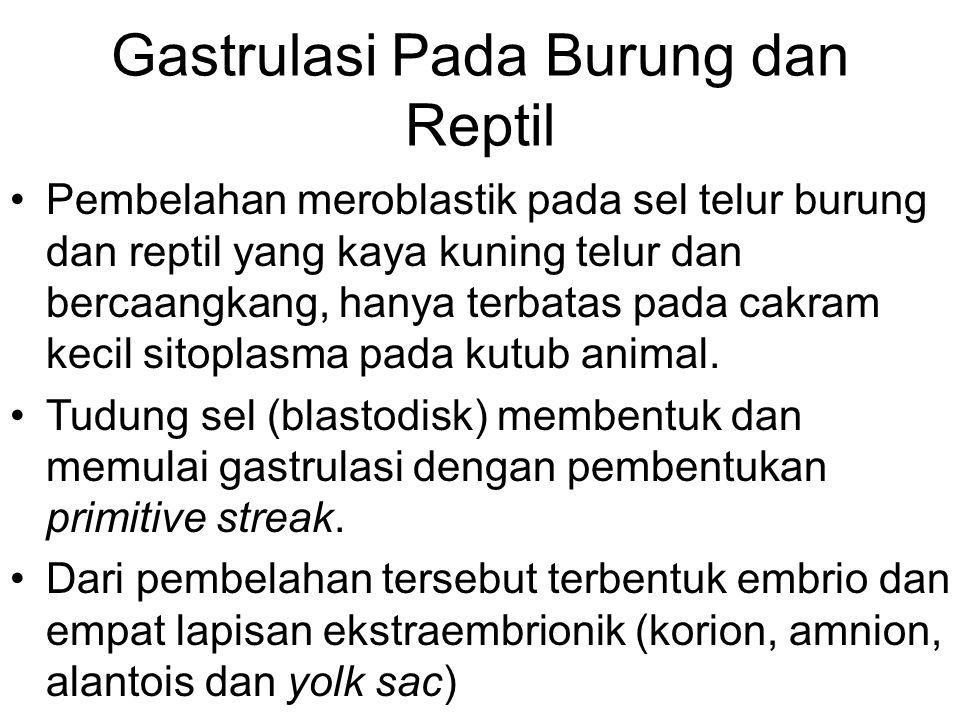 Gastrulasi Pada Burung dan Reptil