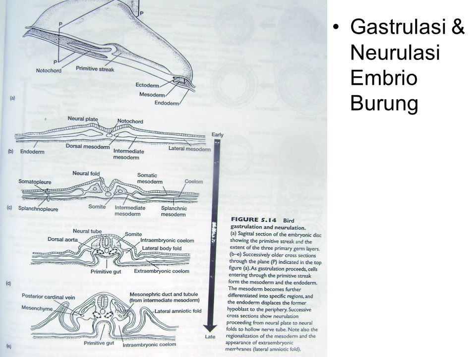 Gastrulasi & Neurulasi Embrio Burung
