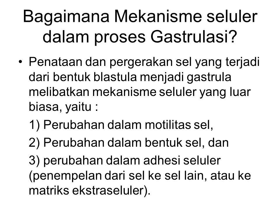 Bagaimana Mekanisme seluler dalam proses Gastrulasi