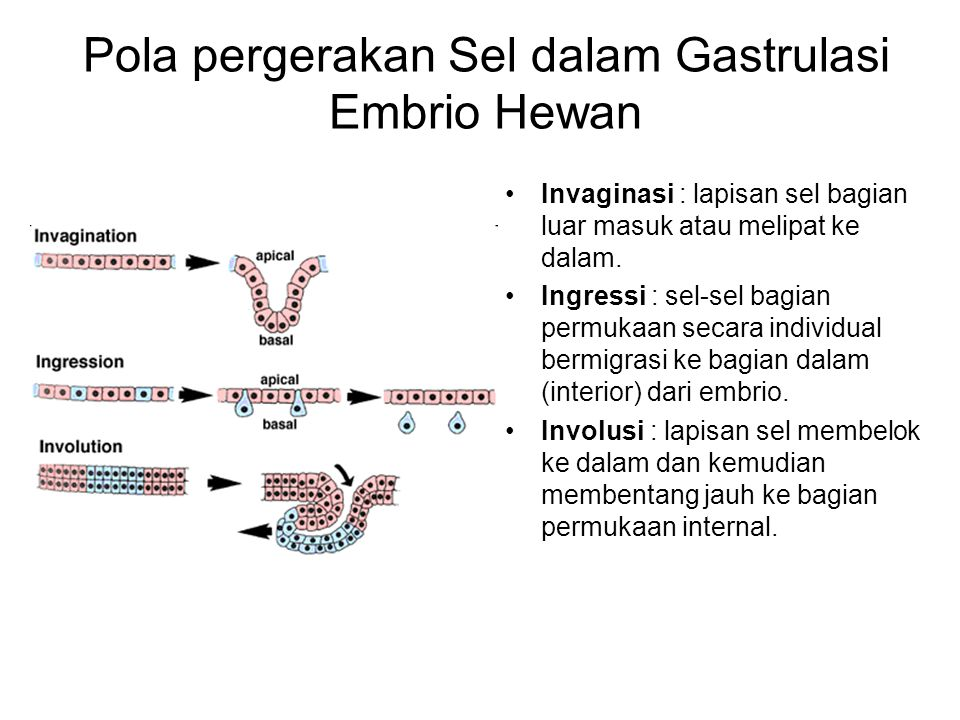 Pola pergerakan Sel dalam Gastrulasi Embrio Hewan