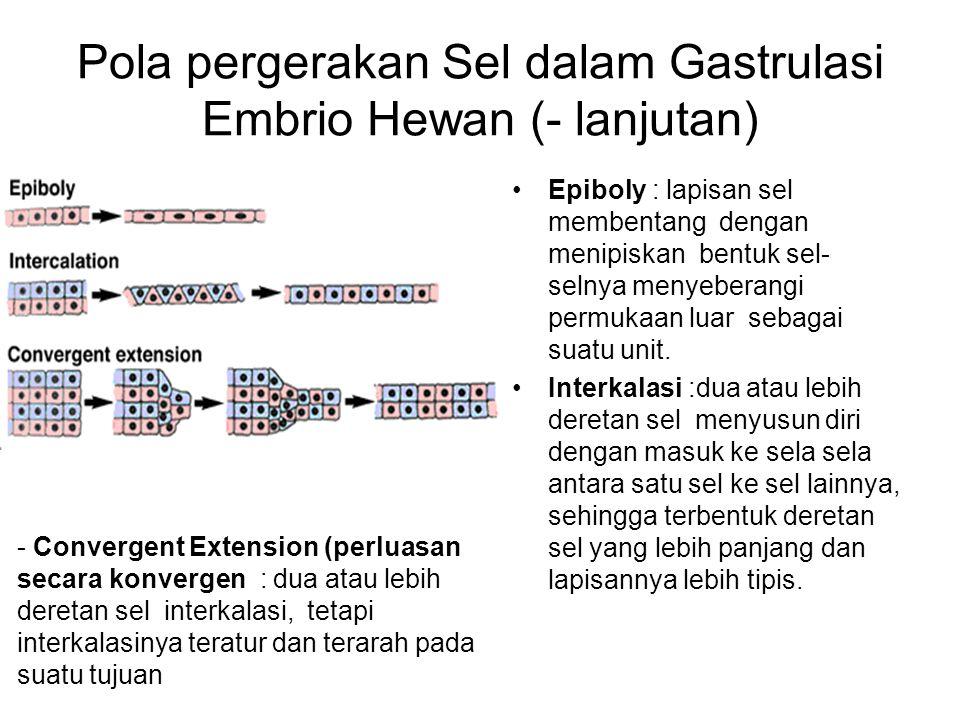 Pola pergerakan Sel dalam Gastrulasi Embrio Hewan (- lanjutan)