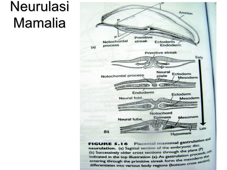 Neurulasi Mamalia