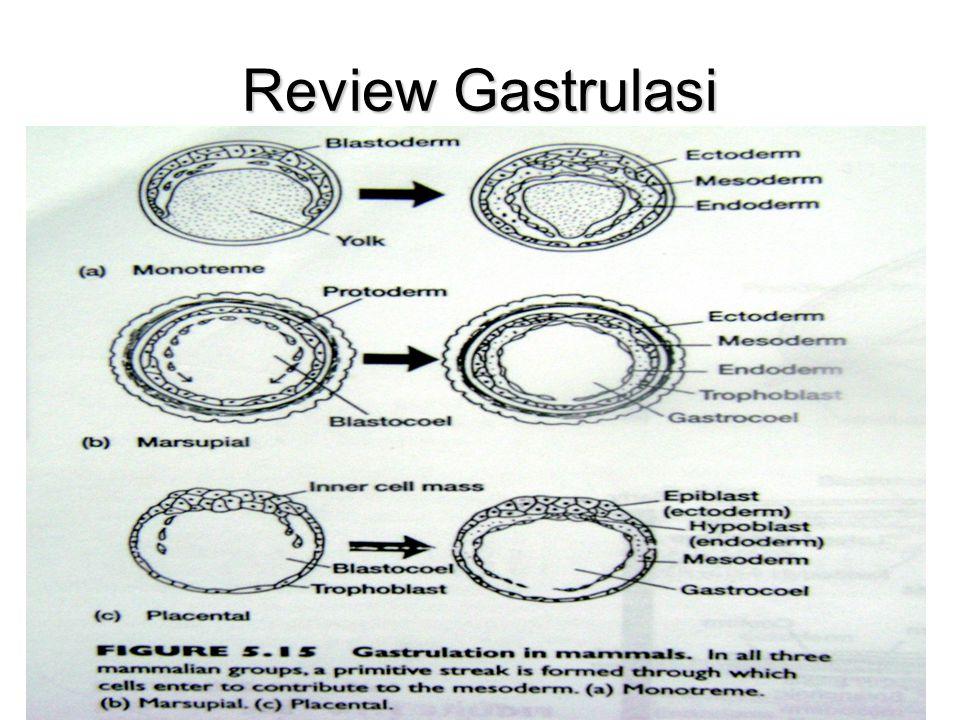 Review Gastrulasi