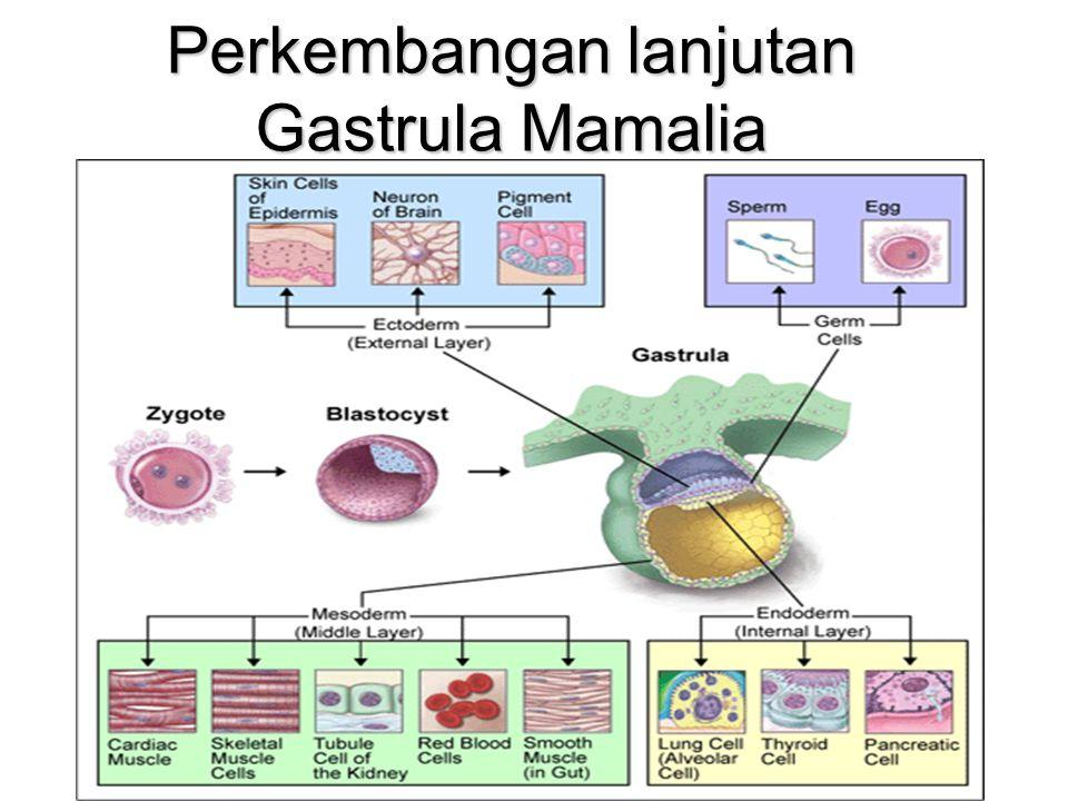 Perkembangan lanjutan Gastrula Mamalia