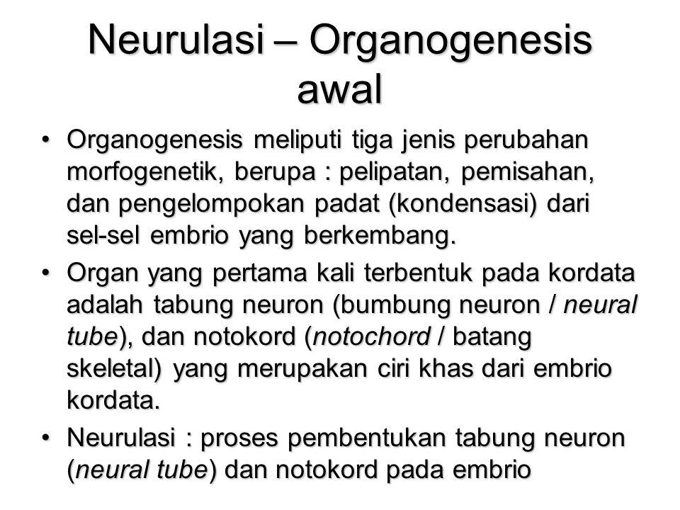 Neurulasi – Organogenesis awal