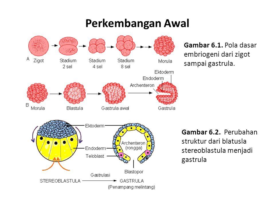 Perkembangan Awal Gambar 6.1. Pola dasar embriogeni dari zigot sampai gastrula.