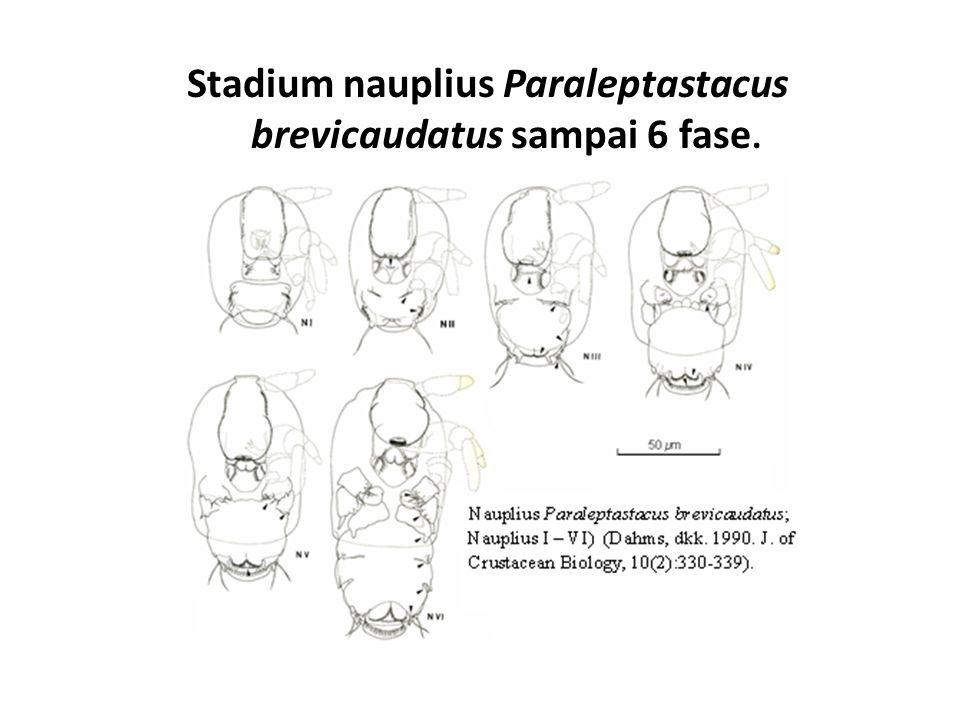 Stadium nauplius Paraleptastacus brevicaudatus sampai 6 fase.