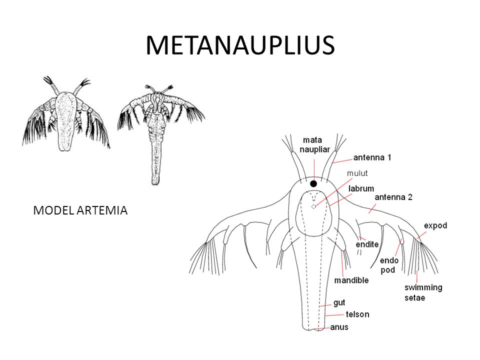 METANAUPLIUS MODEL ARTEMIA