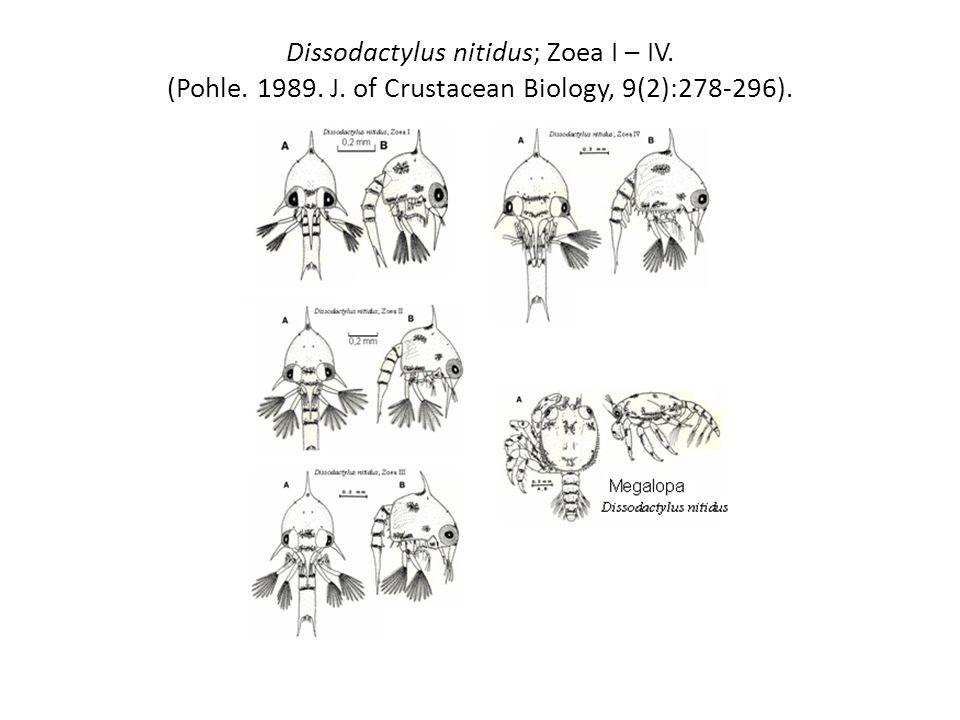 Dissodactylus nitidus; Zoea I – IV. (Pohle. 1989. J