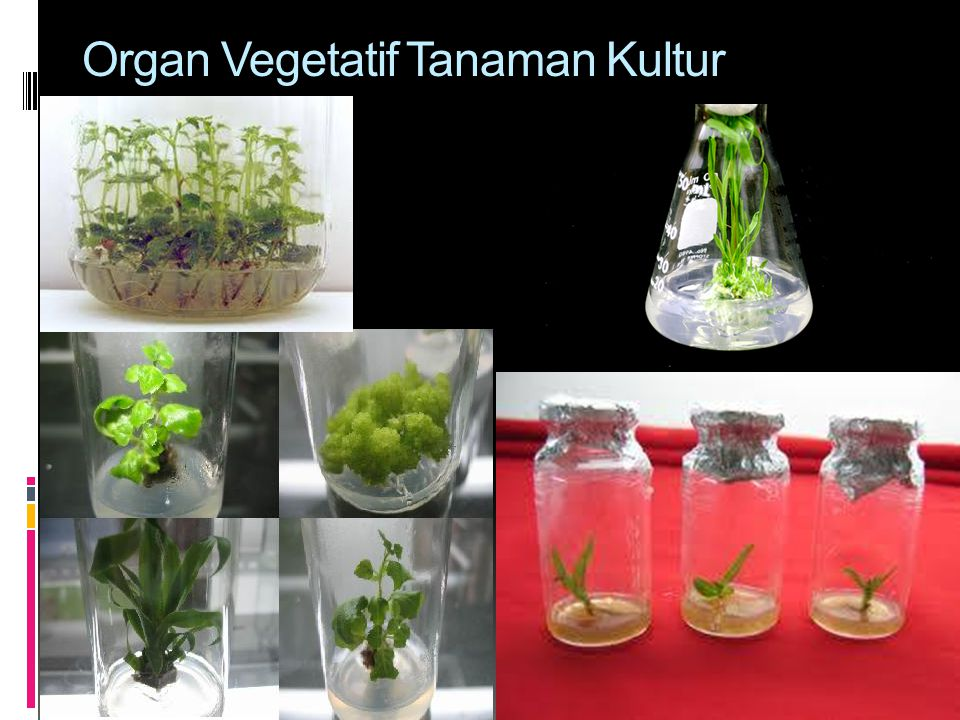 Organ Vegetatif Tanaman Kultur