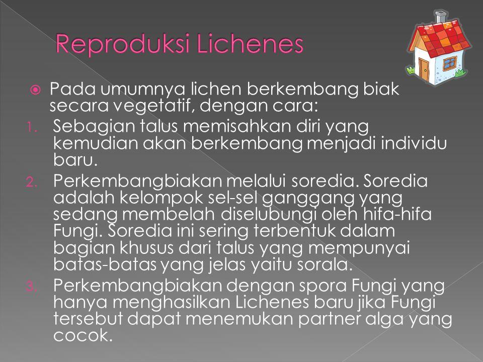 Reproduksi Lichenes Pada umumnya lichen berkembang biak secara vegetatif, dengan cara: