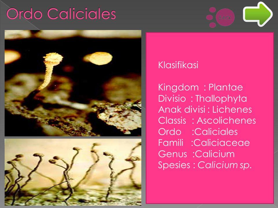Ordo Caliciales Klasifikasi Kingdom : Plantae Divisio : Thallophyta