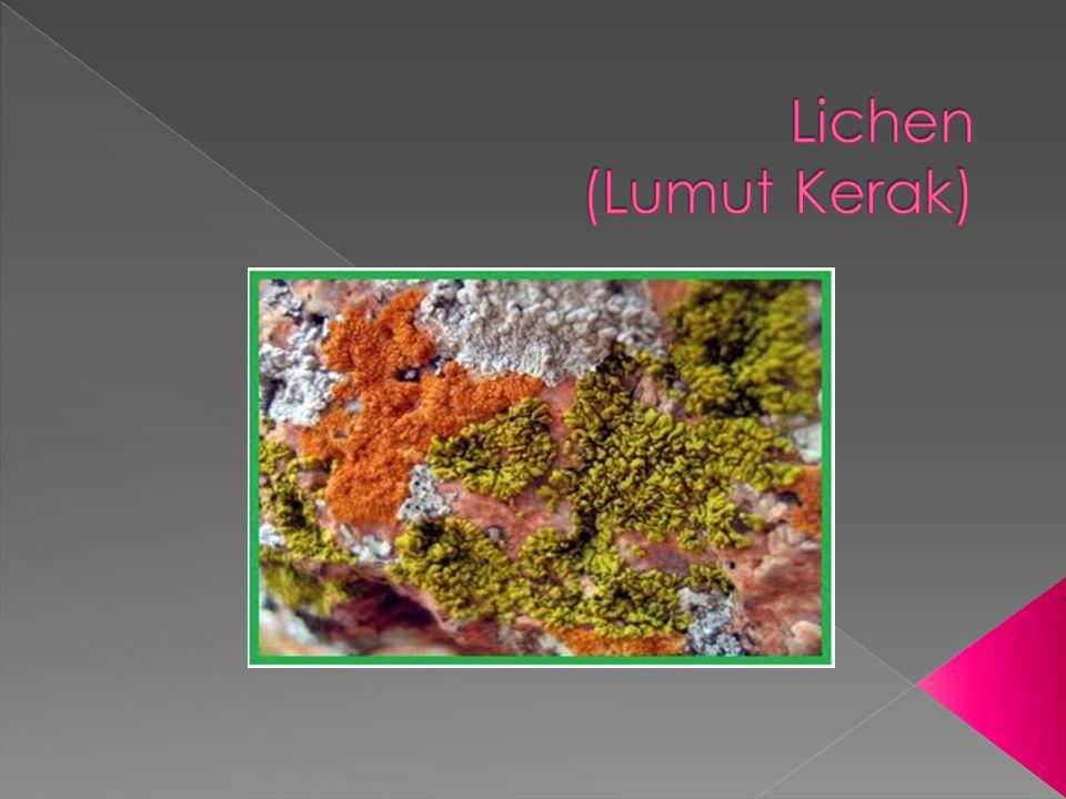 Lichen (Lumut Kerak)
