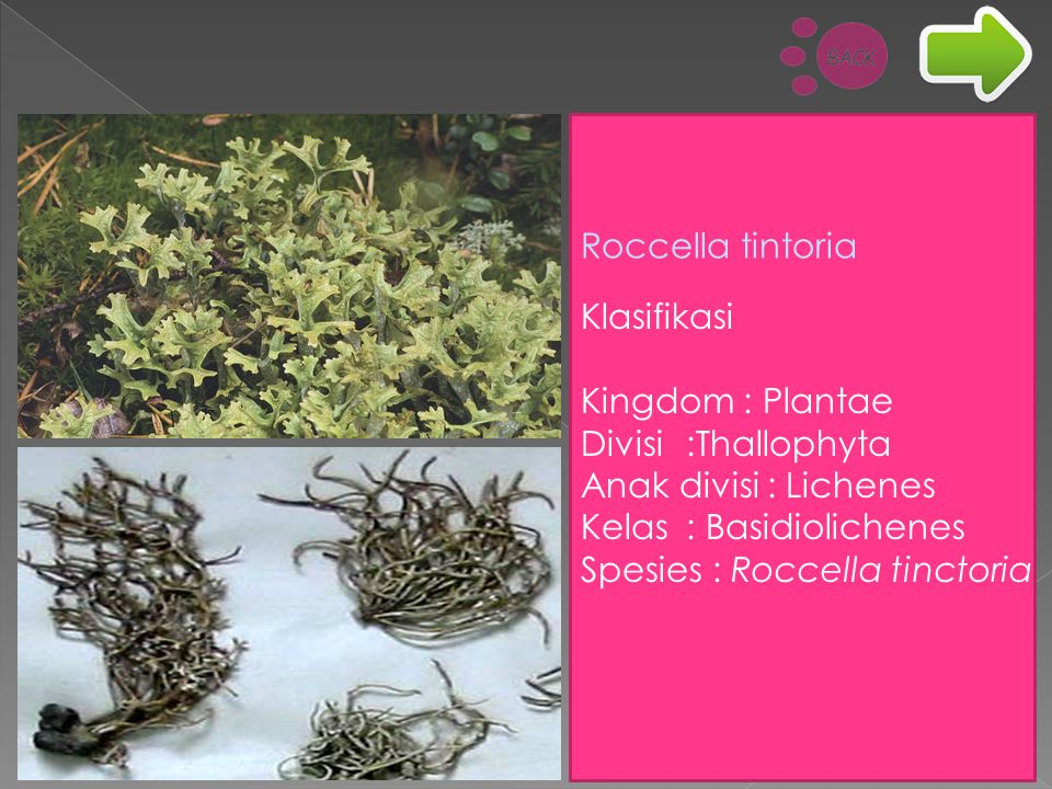 Roccella tintoria Klasifikasi. Kingdom : Plantae. Divisi :Thallophyta. Anak divisi : Lichenes. Kelas : Basidiolichenes.
