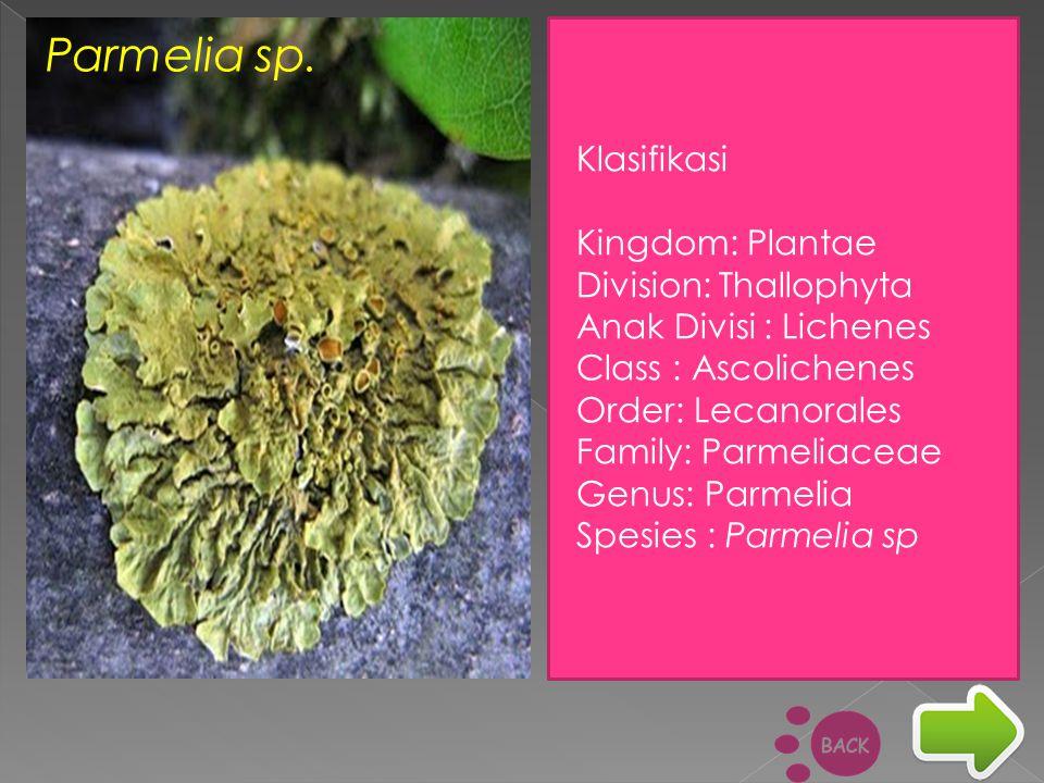 Parmelia sp. Klasifikasi Kingdom: Plantae Division: Thallophyta