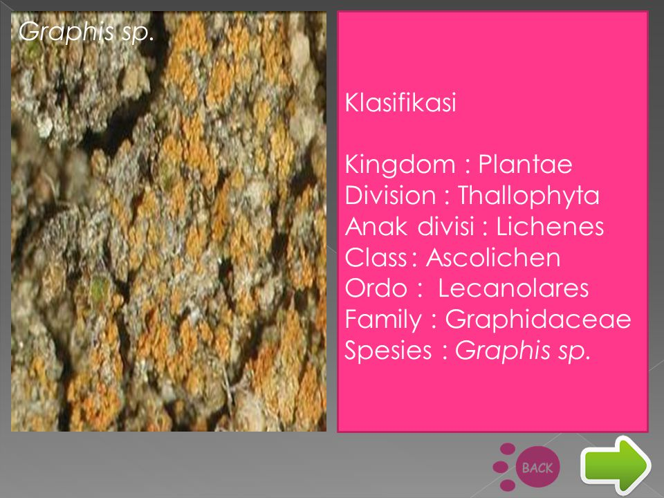 Graphis sp. Klasifikasi. Kingdom : Plantae. Division : Thallophyta. Anak divisi : Lichenes. Class : Ascolichen.