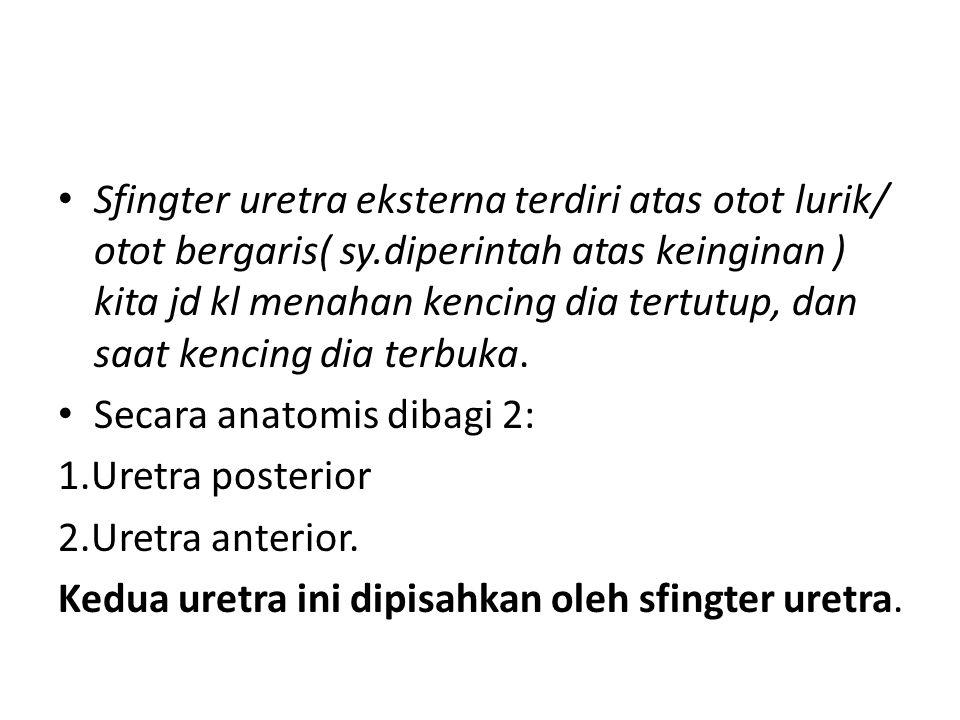 Sfingter uretra eksterna terdiri atas otot lurik/ otot bergaris( sy