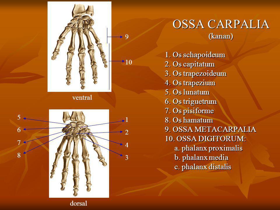 OSSA CARPALIA (kanan) 1. Os schapoideum 2. Os capitatum