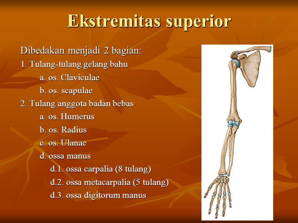 Ekstremitas superior Dibedakan menjadi 2 bagian: