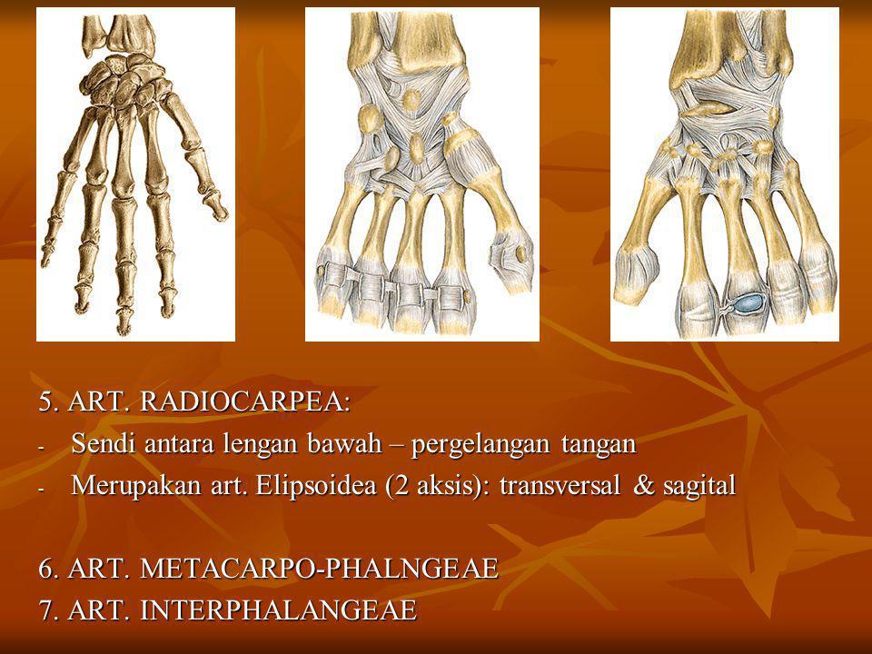 5. ART. RADIOCARPEA: Sendi antara lengan bawah – pergelangan tangan. Merupakan art. Elipsoidea (2 aksis): transversal & sagital.