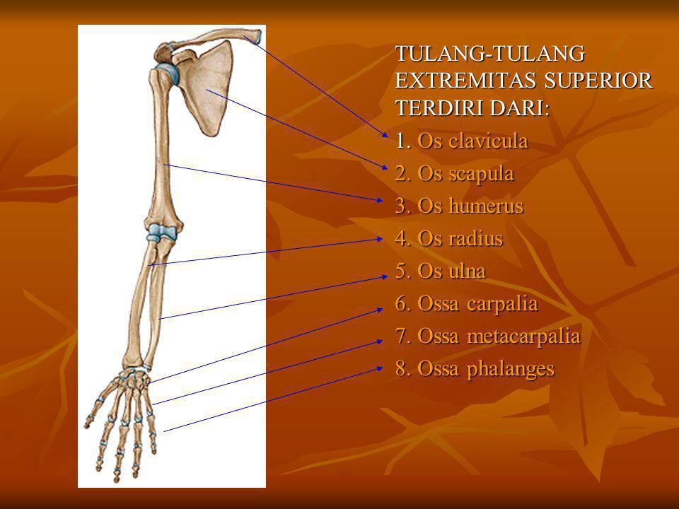 TULANG-TULANG EXTREMITAS SUPERIOR TERDIRI DARI: