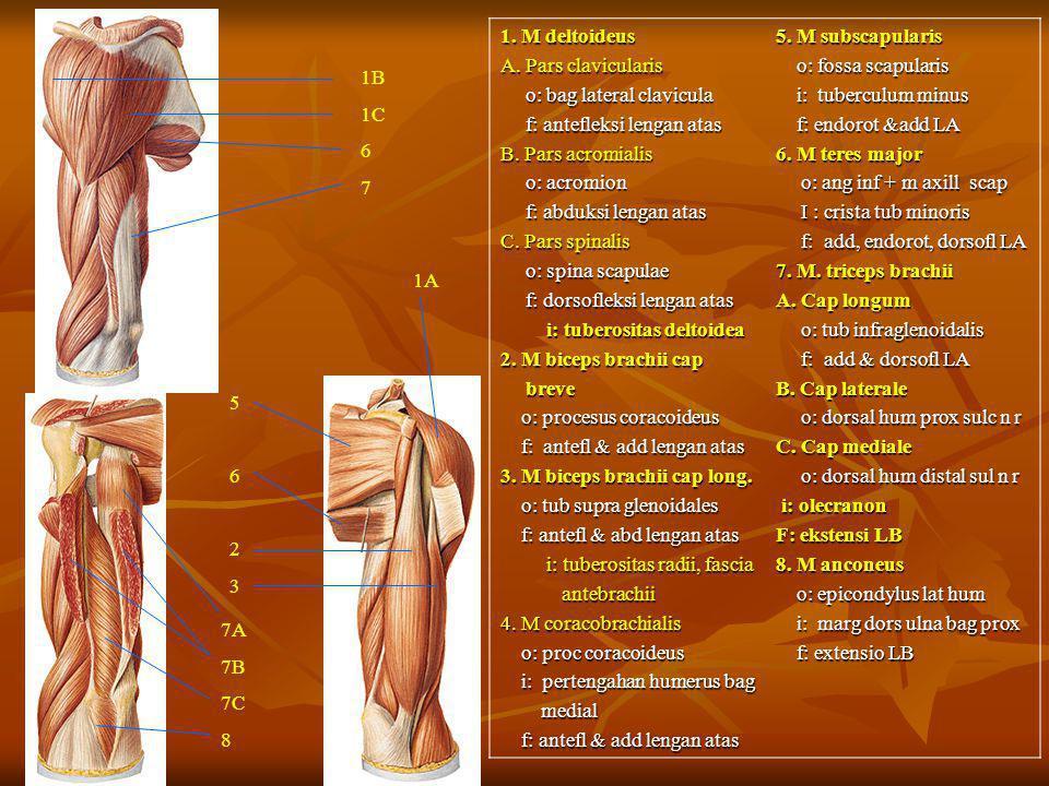 1. M deltoideus A. Pars clavicularis. o: bag lateral clavicula. f: antefleksi lengan atas. B. Pars acromialis.