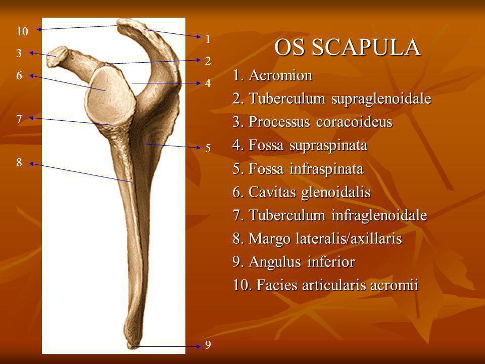 OS SCAPULA 1. Acromion 2. Tuberculum supraglenoidale