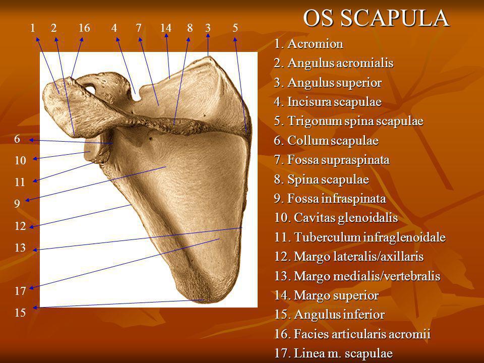 OS SCAPULA 1. Acromion 2. Angulus acromialis 3. Angulus superior