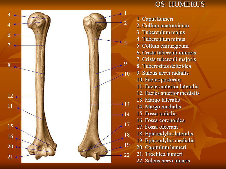 OS HUMERUS 1. Caput humeri 1 3 2. Collum anatomicum 2 4