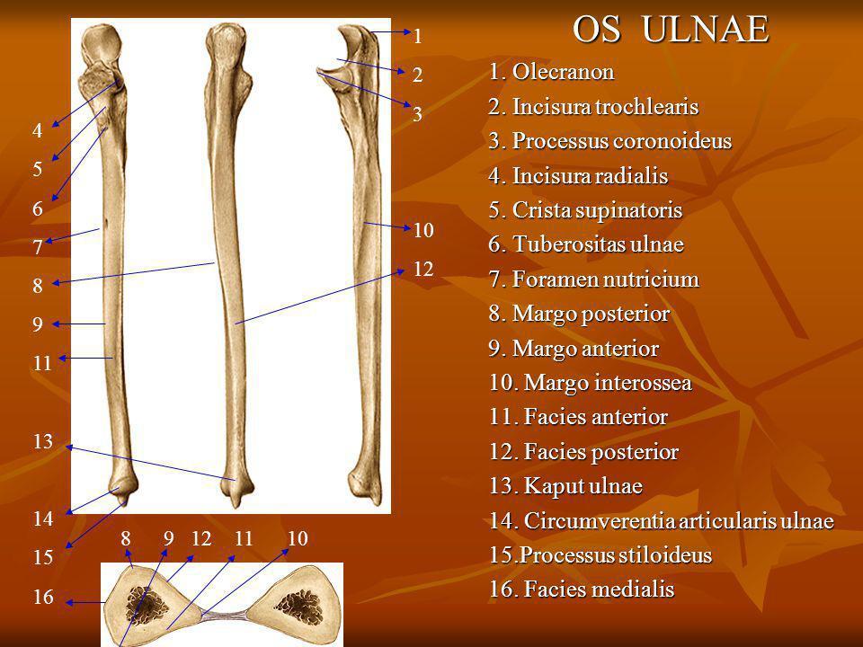 OS ULNAE 1. Olecranon 2. Incisura trochlearis 3. Processus coronoideus