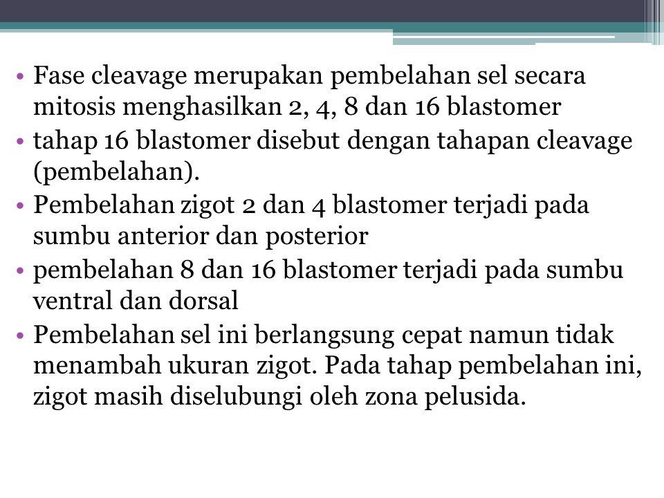 Fase cleavage merupakan pembelahan sel secara mitosis menghasilkan 2, 4, 8 dan 16 blastomer
