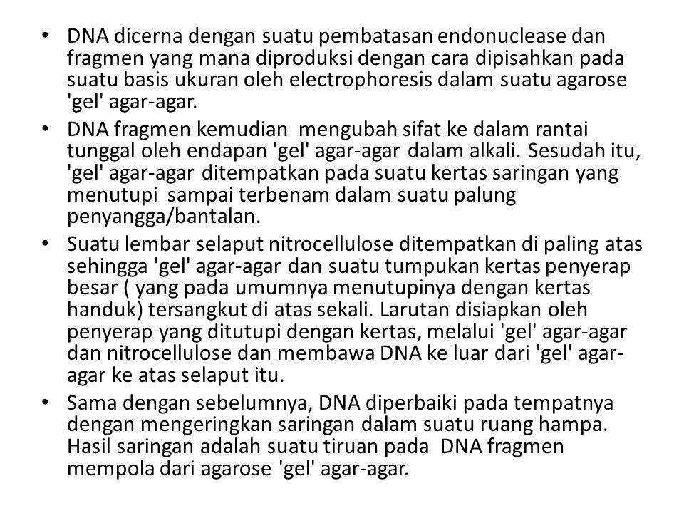 DNA dicerna dengan suatu pembatasan endonuclease dan fragmen yang mana diproduksi dengan cara dipisahkan pada suatu basis ukuran oleh electrophoresis dalam suatu agarose gel agar-agar.