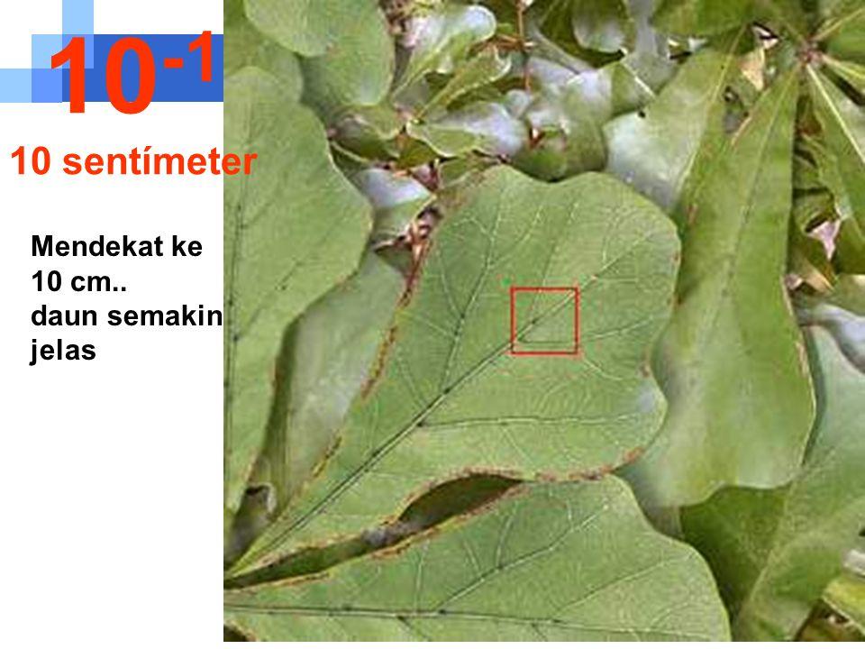 10-1 10 sentímeter Mendekat ke 10 cm.. daun semakin jelas
