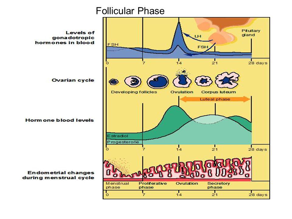 Follicular Phase ginantra, handout