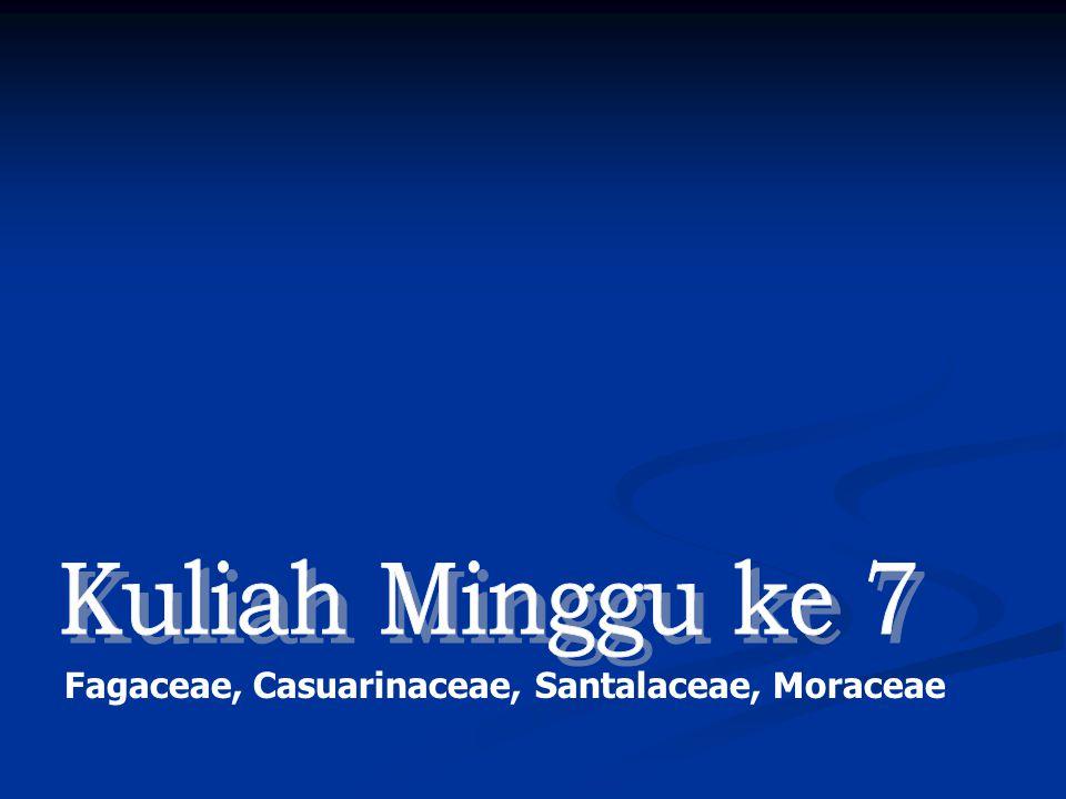 Kuliah Minggu ke 7 Fagaceae, Casuarinaceae, Santalaceae, Moraceae