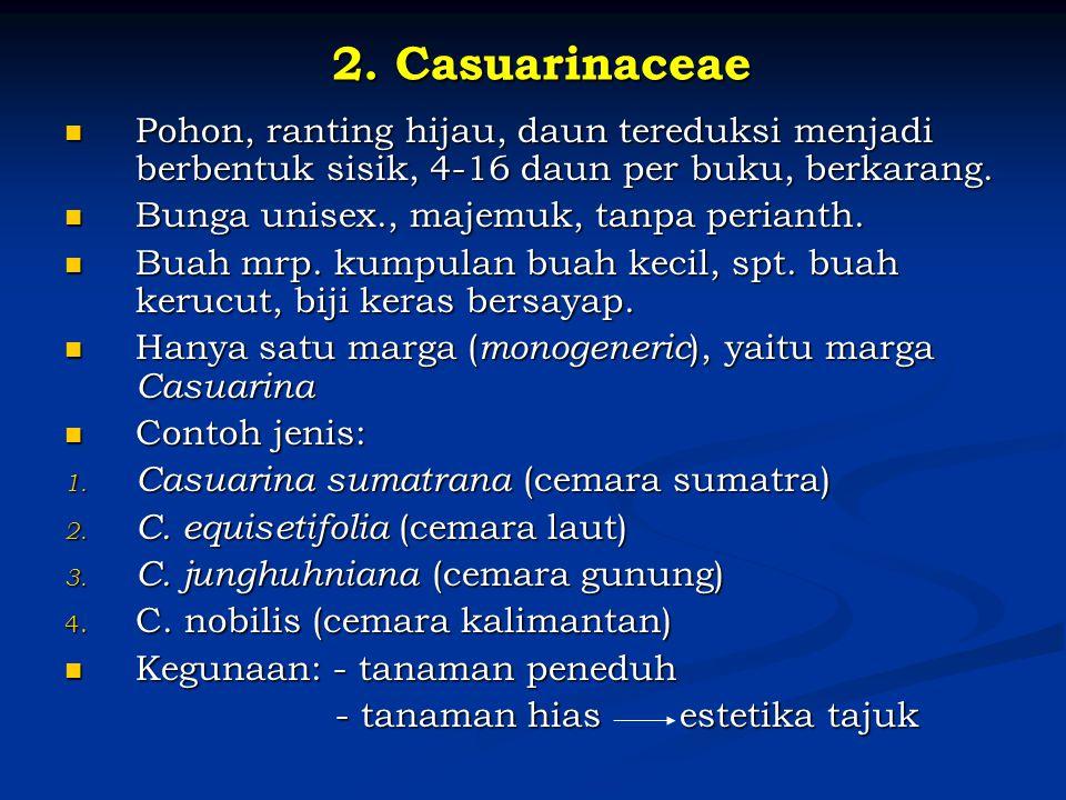 2. Casuarinaceae Pohon, ranting hijau, daun tereduksi menjadi berbentuk sisik, 4-16 daun per buku, berkarang.