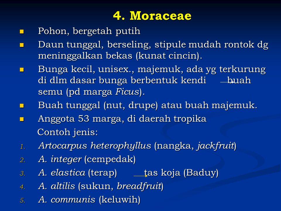 4. Moraceae Pohon, bergetah putih