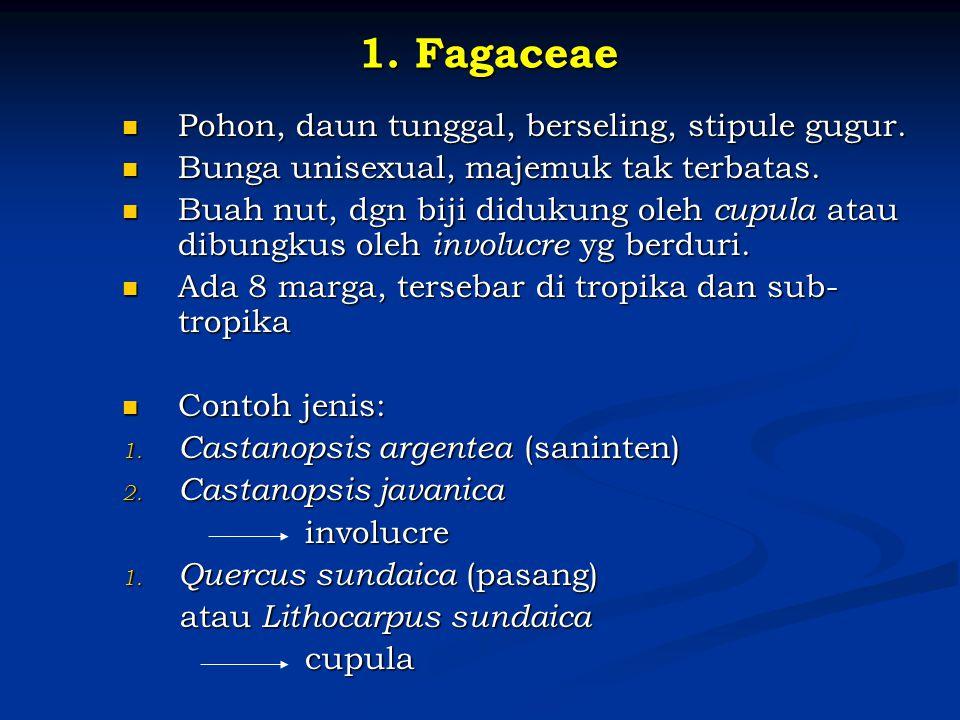 1. Fagaceae Pohon, daun tunggal, berseling, stipule gugur.